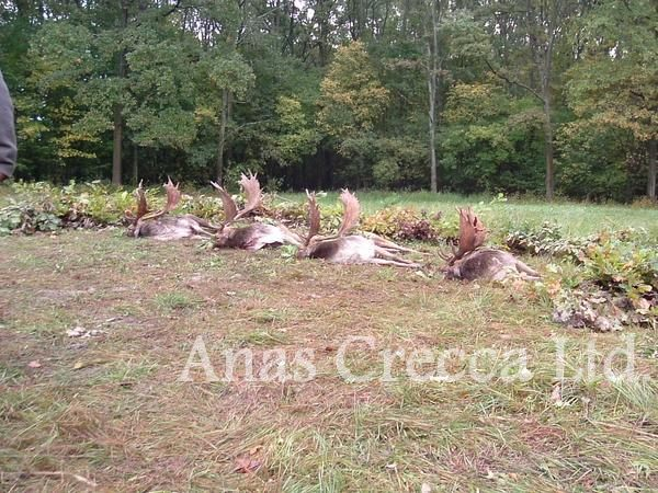 fallow_stag_hunting_in_hungary_02.jpg