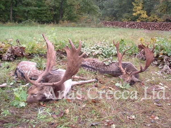 fallow_stag_hunting_in_hungary_03.jpg