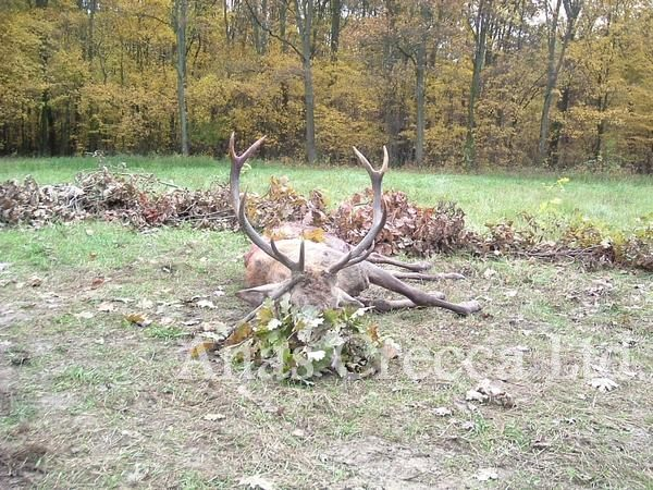 red_stag_hunting_in_hungary_05.jpg